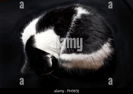 black-and-white house cat coiled up