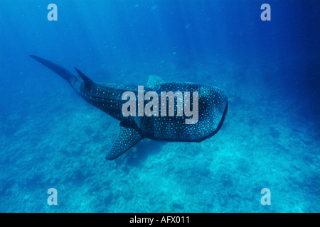 Underwater view of Whale shark (rhincodon typus) swimming nearby surface on coral reef, Ari atoll, Maldives