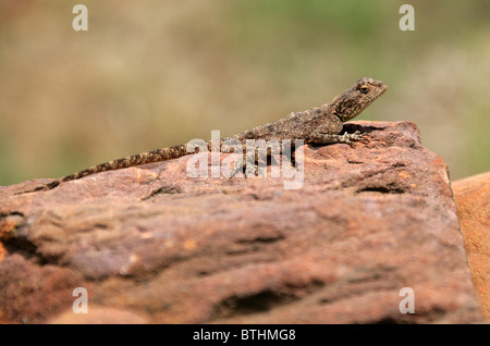 Ground Agama Lizard, Agama aculeata, South Africa