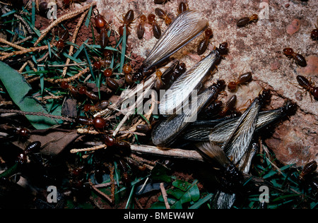 Winged termites (Syntermes molestus) emerging from their nest in the ground, guarded by soldiers, Brazil