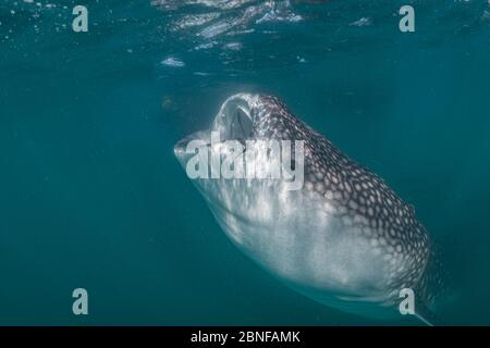 A juvenile whale shark feeding just below the surface