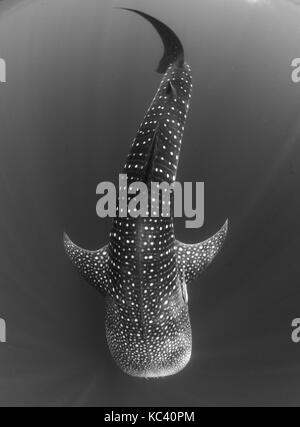 WHALE SHARKS IN THE CLEAR WATERS OF NOSY BE IN MADAGASCAR