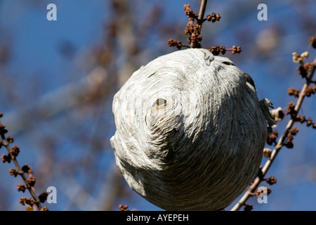 Wasp nest hanging from a tree branch in Boise Idaho