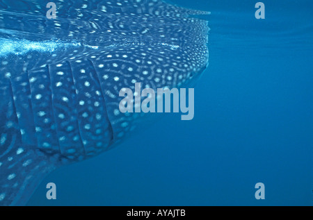 whale shark swimming underwater just under the surface Rhincodon typus