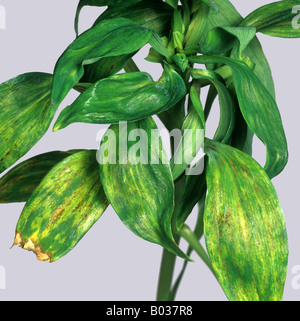 Peruvian lily Alstroemeria spp with tomato spotted wilt virus symptoms on the leaves