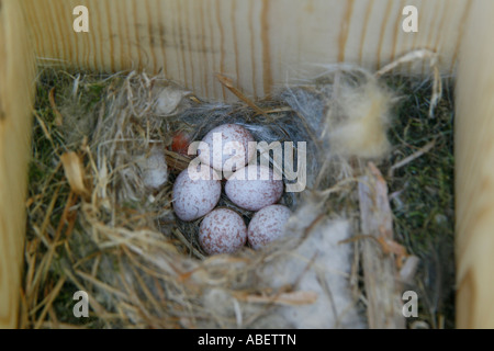 Carolina Chickadee Nest in Nestbox with Five Eggs