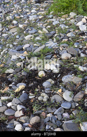 Ringed Plover Charadrius hiaticula nest with four eggs on Kilchoan beach, Ardnamurchan Peninsula, Scotland in May.