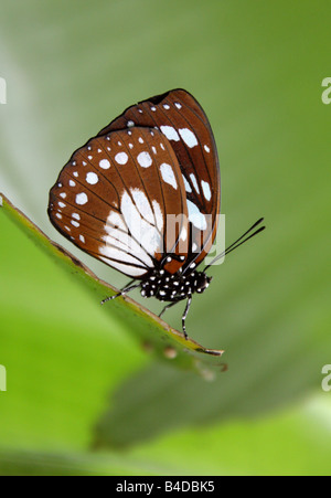 Blue and Brown Tropical Butterfly