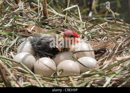 black coot (Fulica atra), nest with eggs and hatched chick