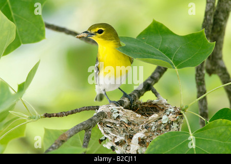 Yellow throated Vireo at Nest in Tulip Tree