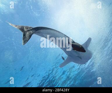 View from below of huge female whale shark (Rhincodon typus) with black jacks (Caranx lugubris) swimming below, eastern Pacific Ocean, Mexico, color