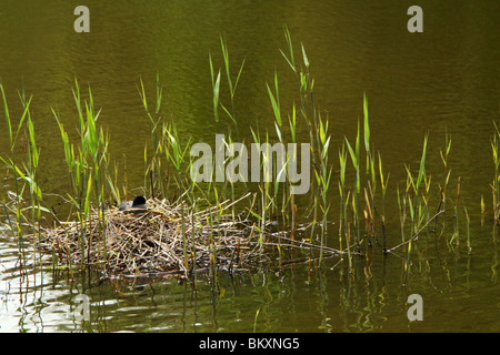 A Eurasian Coot (Fulica atra) sitting on a nest in Virginia Water, The Royal Landscape, Surrey, United Kingdom