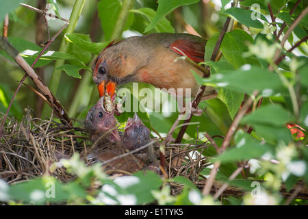 A female Northern Cardinal feeds her nestlings an insect  in a backyard mock orange tree, Toronto, Ontario