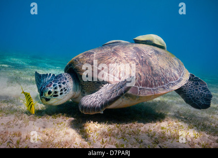A Green Turtle (Chelonia Mydas) feeds on the sea grass in the sheltered bay at Marsa Abu Dabab in the Southern Egyptian Red Sea