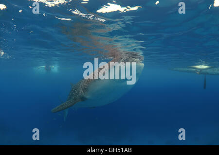 Whale shark or basking shark (Rhincodon typus) Indo-Pacific, Philippines, Southeast Asia