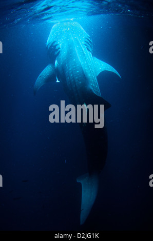 Vertical full body view of a 10-meter whale shark (Rhincodon typus) filter feeding plankton at night.