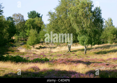 Rammamere Heath, Bedfordshire, UK. Heathland Habitat with Heather and Birch Trees.