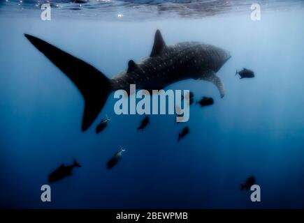 Whale shark (Rhincodon typus) swimming at the surface with black jacks (Caranx lugubris), eastern Pacific Ocean, Mexico, soft color