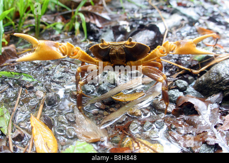 Land crab on the Caribbean isle of Dominica