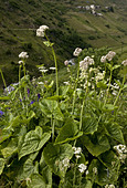 Caucasian Valerian (Valeriana alliarifolia) flowering growing on high grazing pasture Anzar Yayla Pontic Mountains Anatolia