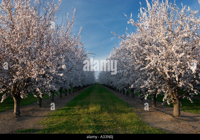 almond-orchards-in-bloom-sacramento-vall