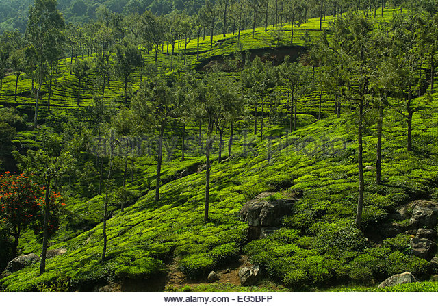 nilgiri-tea-plantation-in-coonoor-tamil-