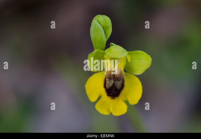 yellow-bee-orchid-ophrys-lutea-andalusia