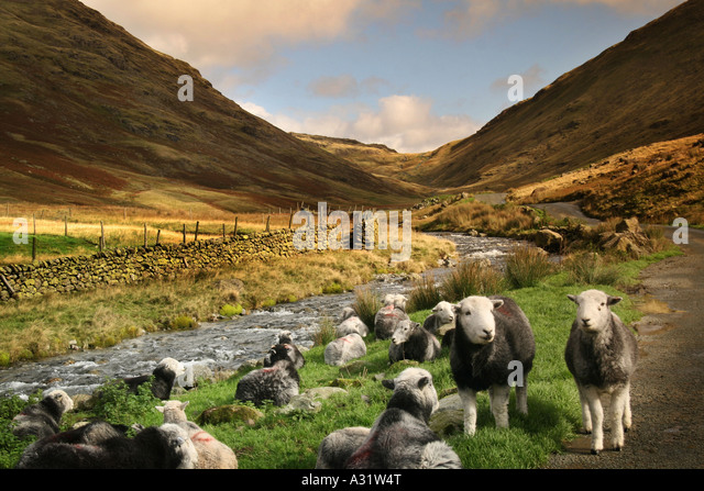 herdiwick-sheep-by-a-river-in-the-lake-d
