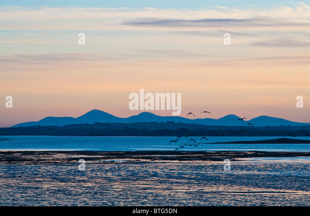 canada-geese-fly-towards-the-mourne-moun