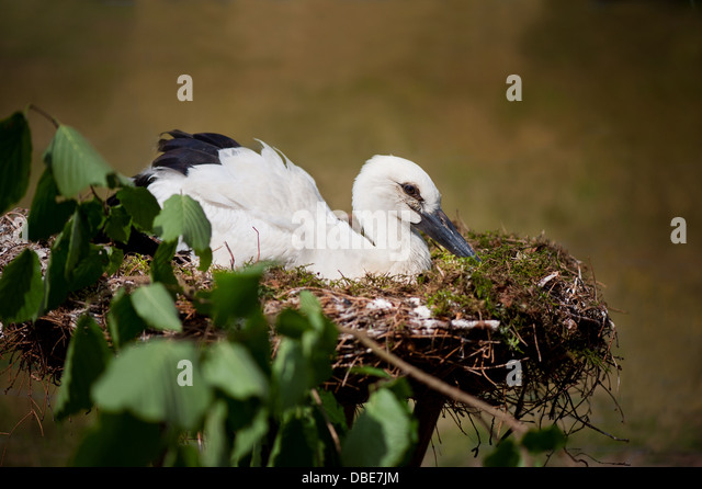 orphaned-white-stork-or-ciconia-ciconia-