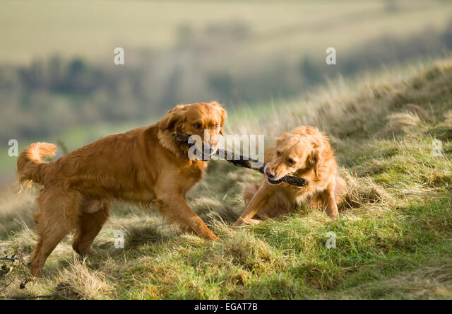 pair-of-golden-retrievers-playing-with-a