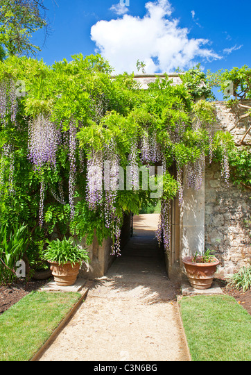 chinese-wisteria-sinensis-in-the-gardens