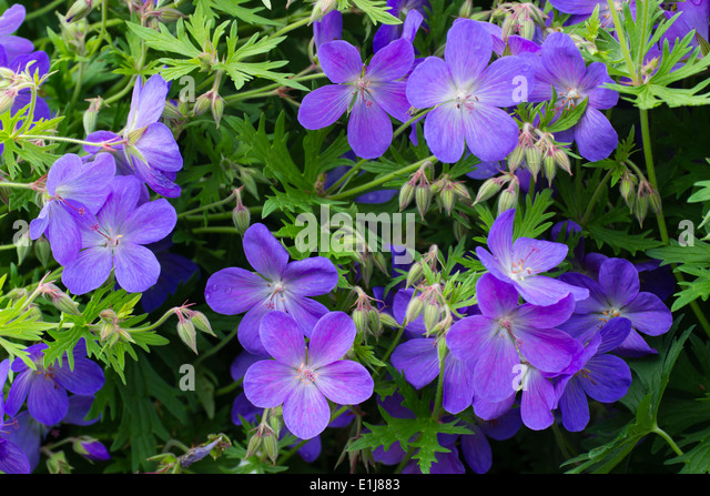 Flowers of the hardy perennial Geranium 'Johnson's Blue' Stock Photo