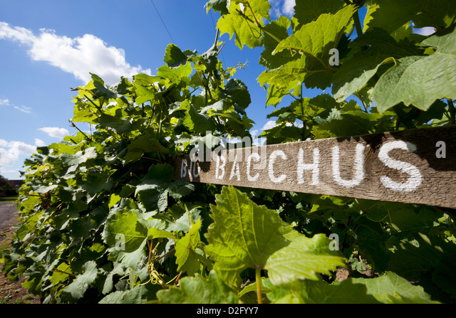 bacchus-vines-at-the-chapel-down-winery-