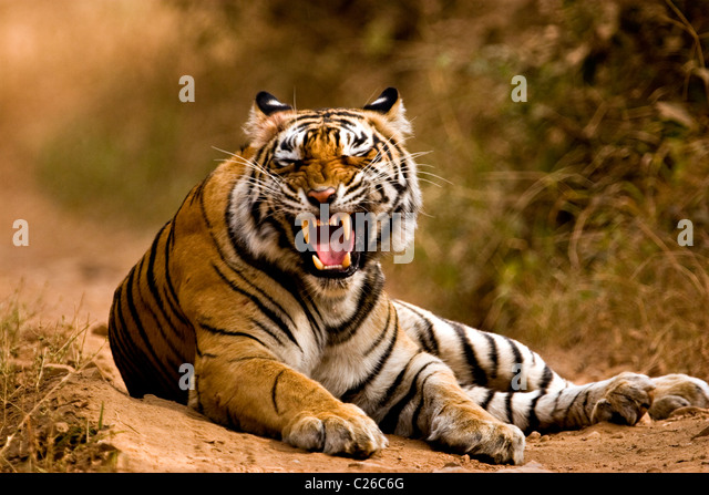tiger-snarling-on-the-forest-tracks-of-r