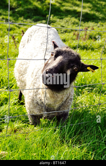grazing-sheep-with-head-stuck-in-wire-fe