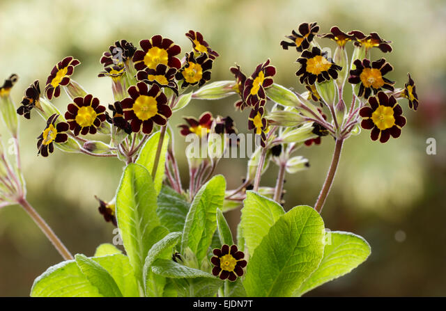 flower-heads-of-the-small-gold-laced-pol