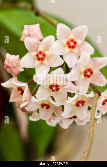 Flowers of the wax plant, Hoya carnosa Stock Photo