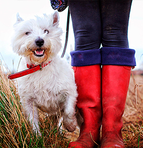 A happy Westie terrier dog on a long walk and standing next to its owner in their bright red wellies. - Stock Photo