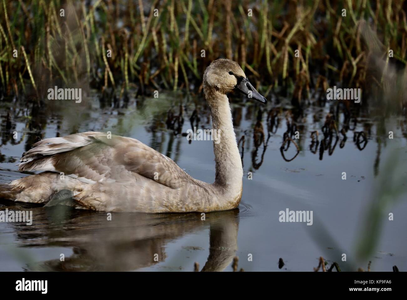 a-cygnet-mute-young-swan-in-the-water-at