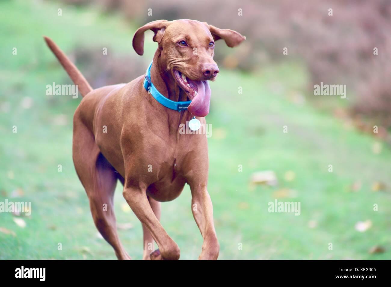 5-year-old-male-hungarian-vizsla-dog-run