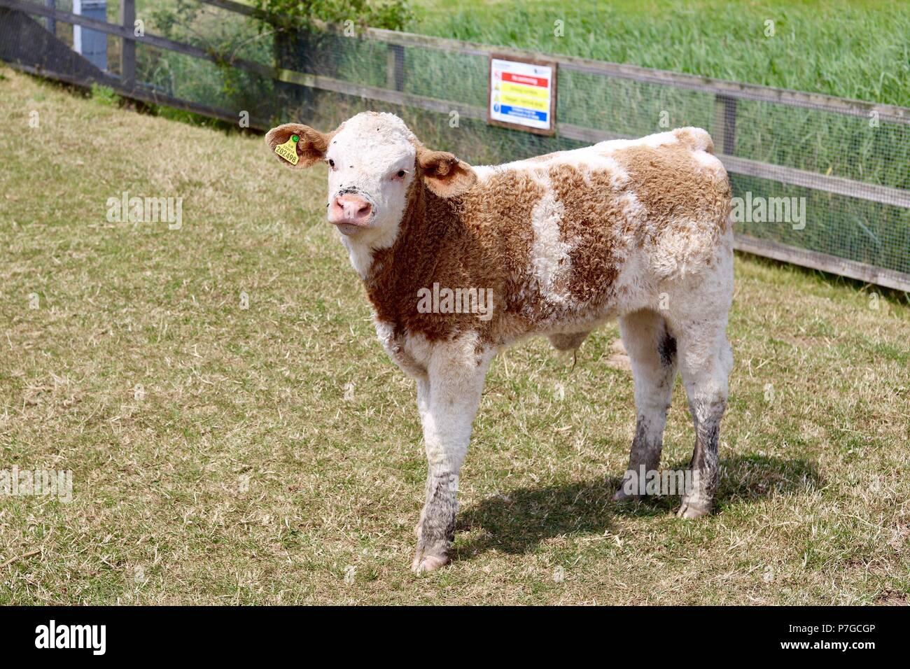 calf-staring-at-the-photographer!-walber