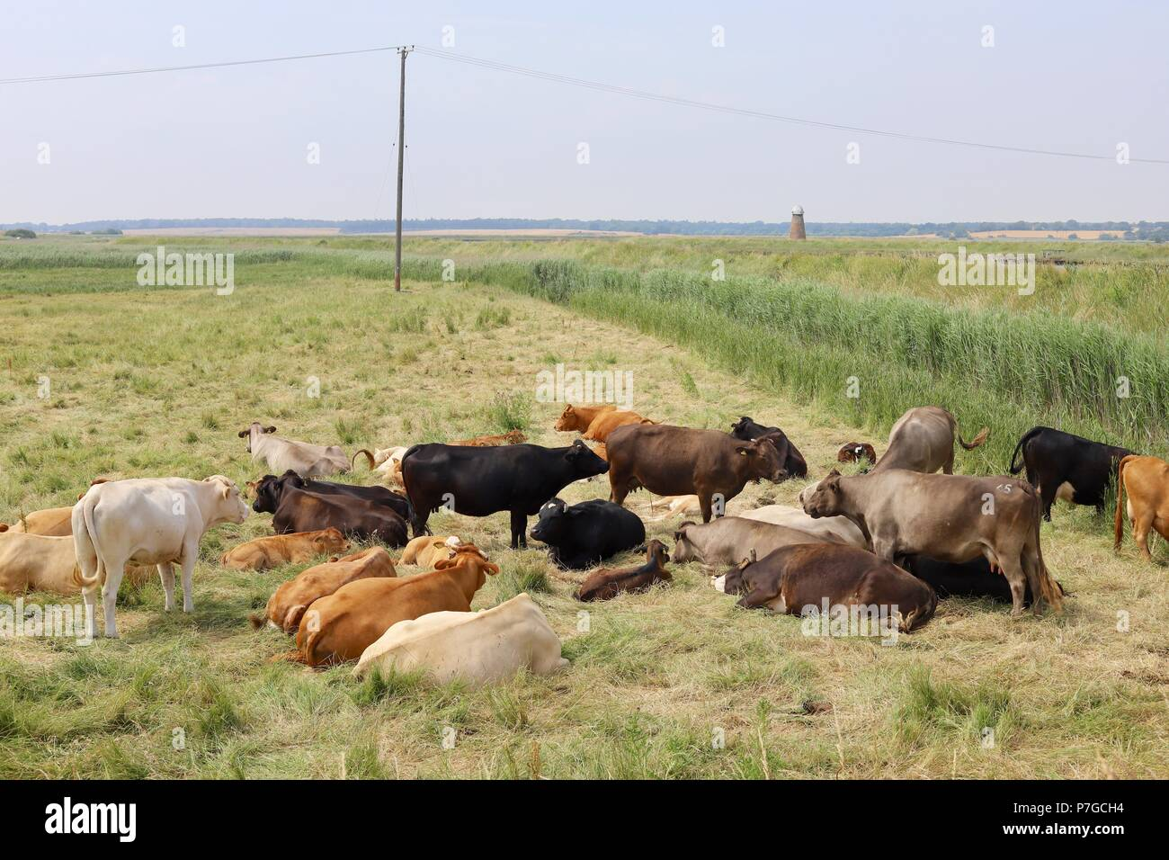 cows-grazing-and-resting-in-a-meadow-by-